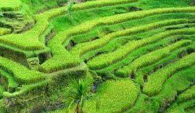 تولیدی برنج شمال